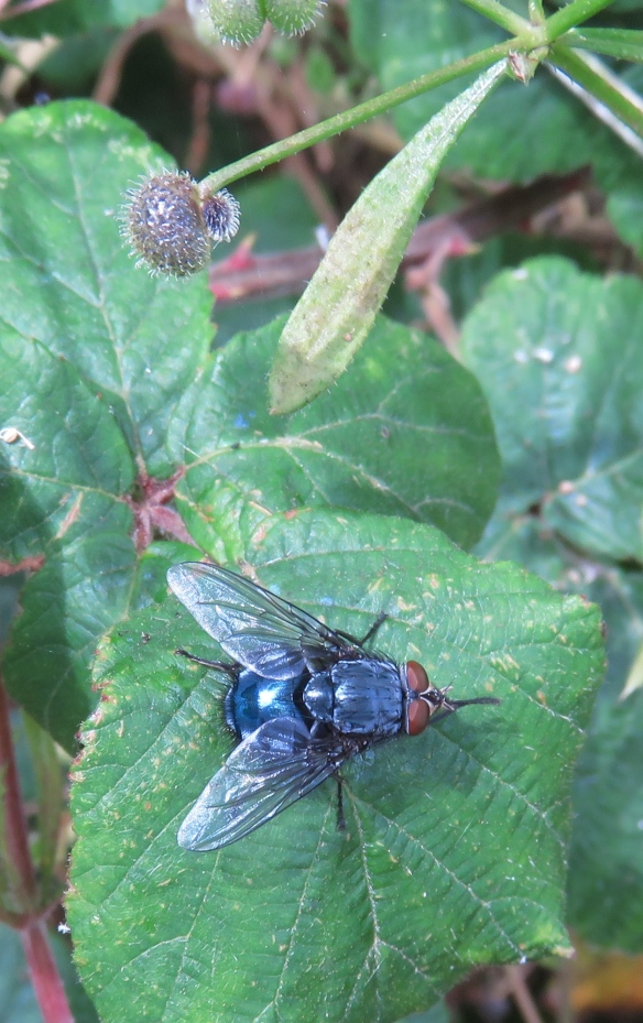 Bluebottle on bramble leaf