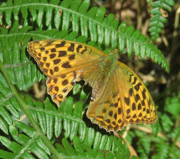 Butterfly Dark Green Fritillary