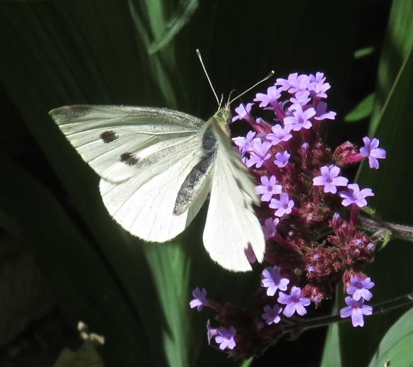 Butterfly Green veined white on verbena bonarensis
