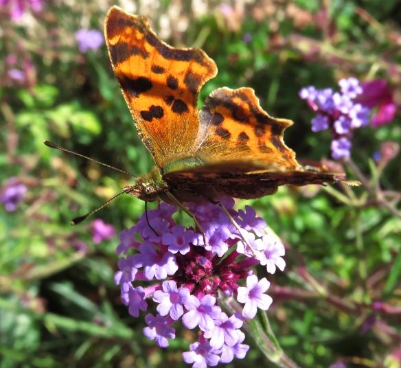Butterfly Large Tortoiseshell on verbena bonarensis