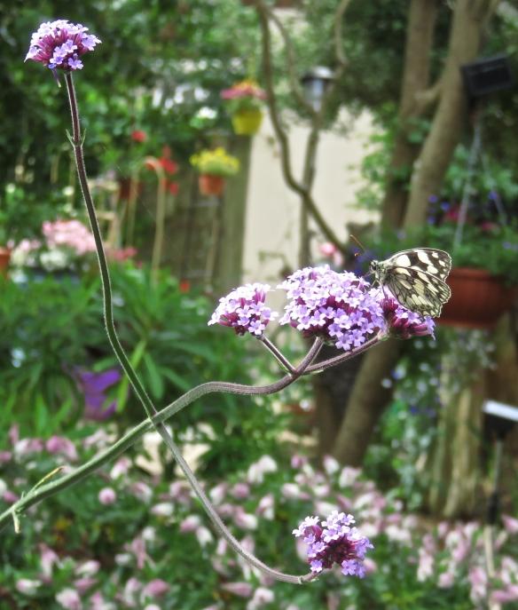 Butterfly - Marbled white on verbena bonarensa