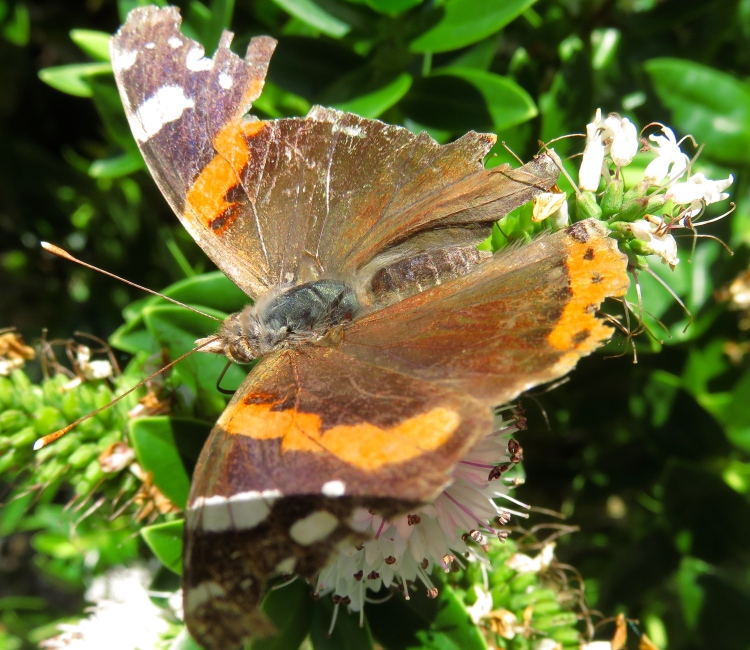 Butterfly Red Admiral on hebe
