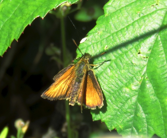 Butterfly Small Skipper