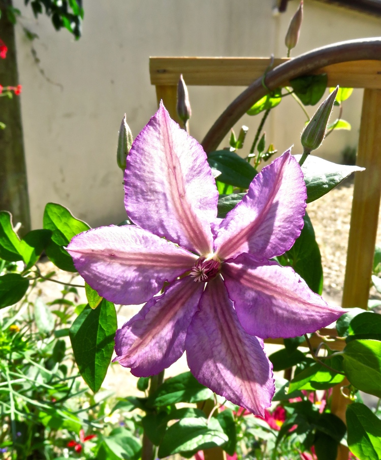 Clematis Margaret Hunt