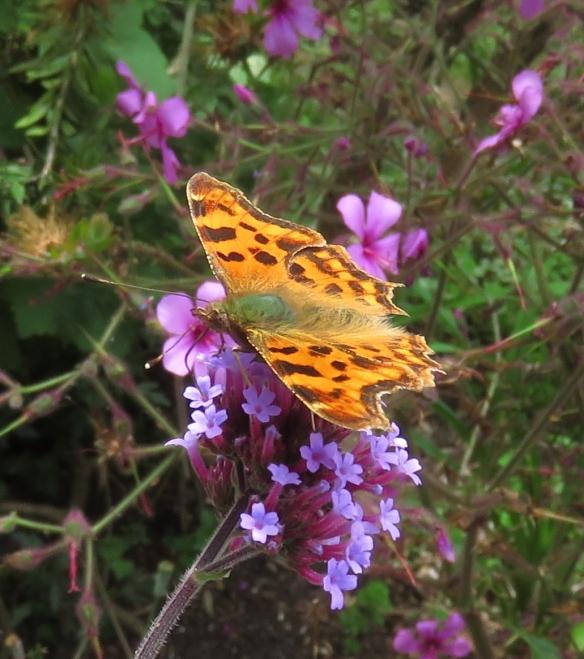 Coma butterfly on verbena bonarensis