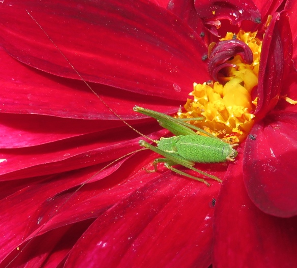 Cricket on dahlia