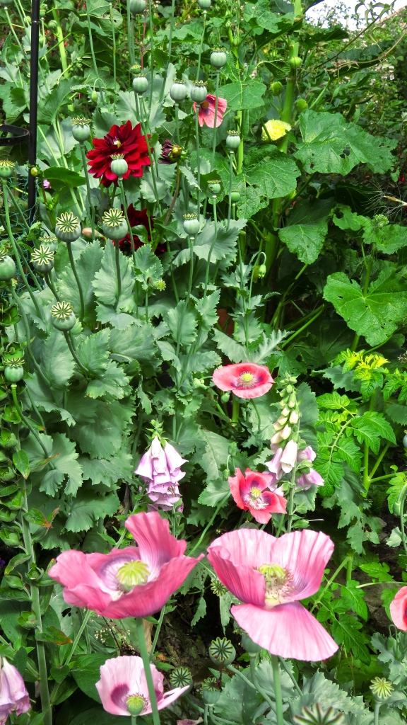 Dahlia Bishop of Llandaff, poppies, foxgloves, and hollyhock