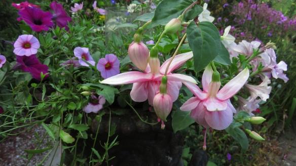 Fuchsia Paula Jane, colibrachoas, petunias