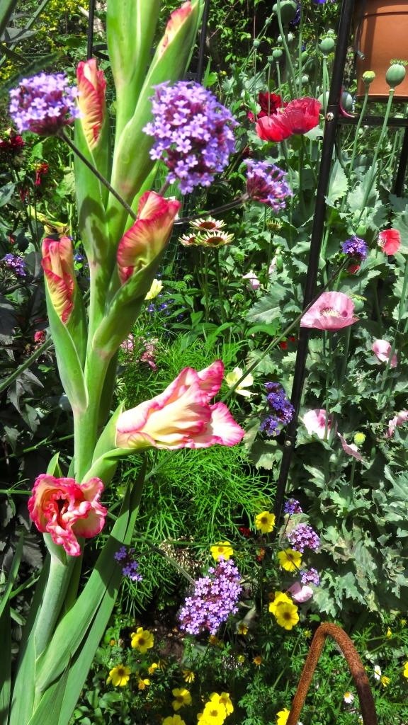 Gladiolus etc