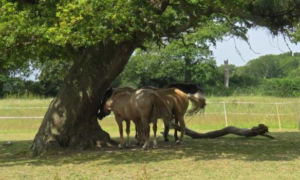 Horses and oak