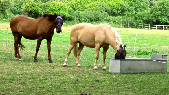 Horses at trough