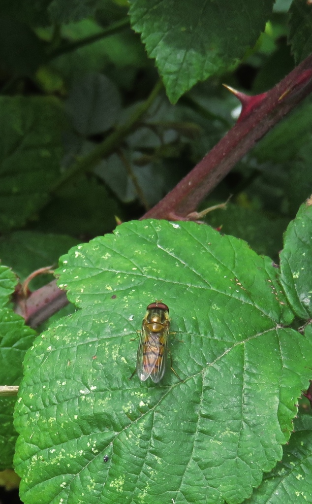 Hoverfly on bramble leaf