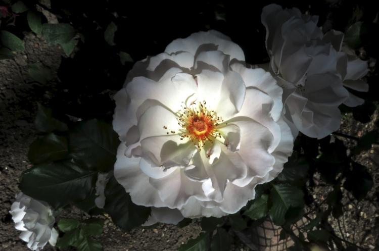 Margaret Merrill rose