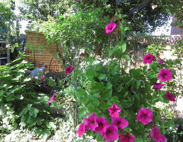 Petunias and shed