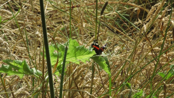 Red Admiral in Barley
