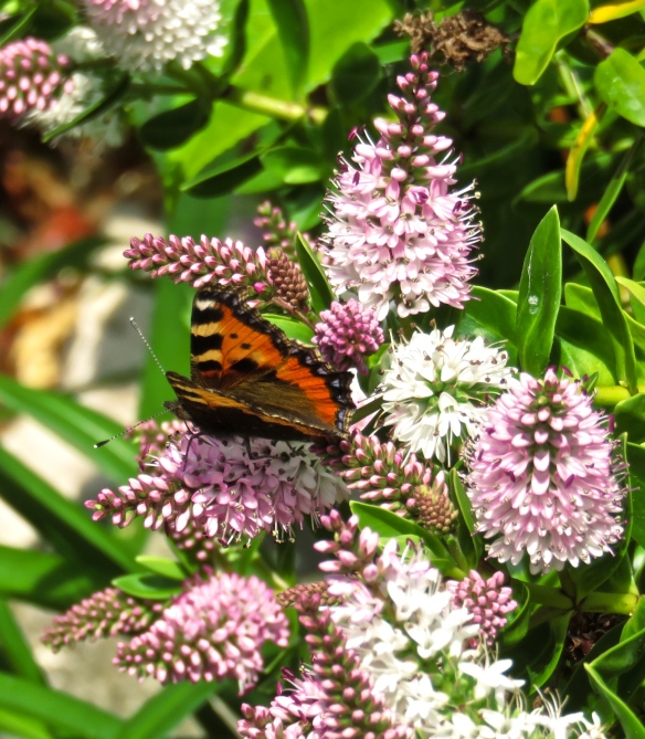 Red Admiral pn hebe