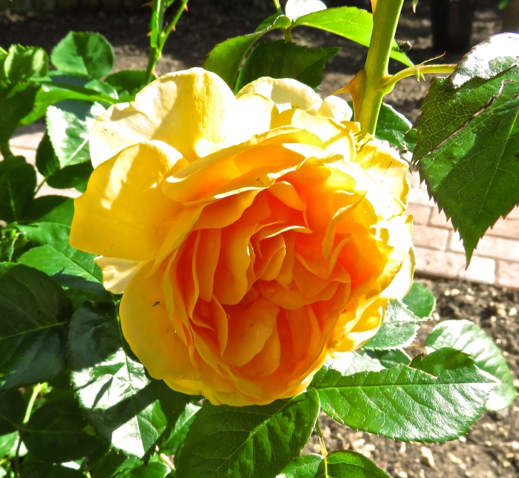Rose - Absolutely FabulousJPG