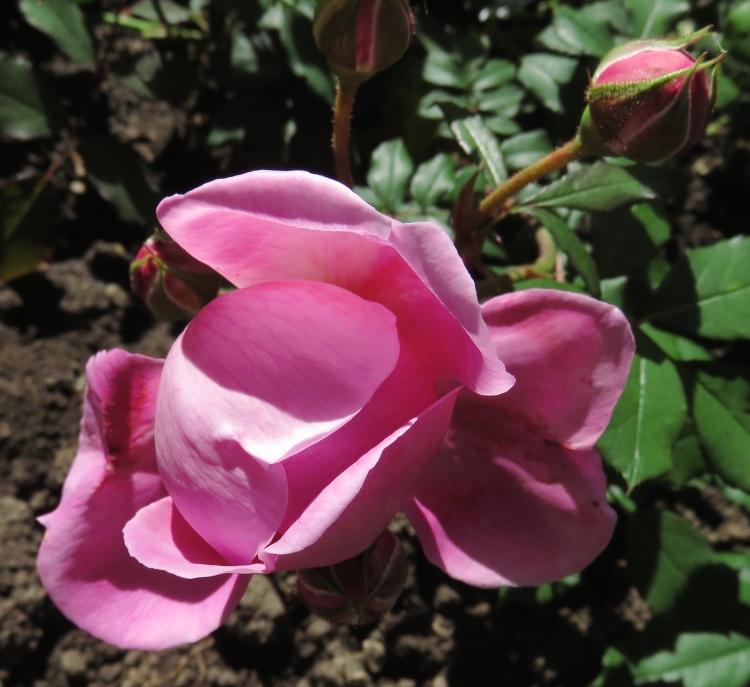 Rose Alan Titchmarsh