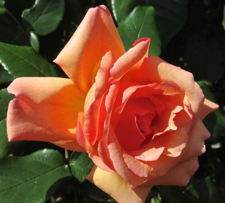 Rose Compassion