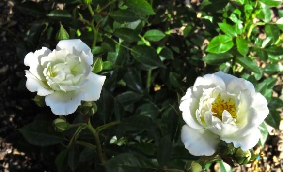 Rose Kent