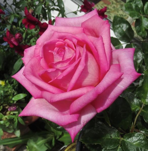 Rose - lost label