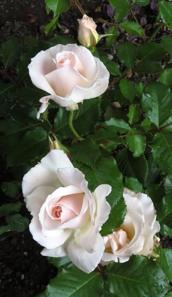 Rose Margaret Merrill