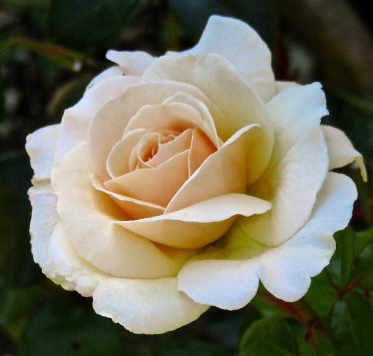 Rose Penny Lane 2