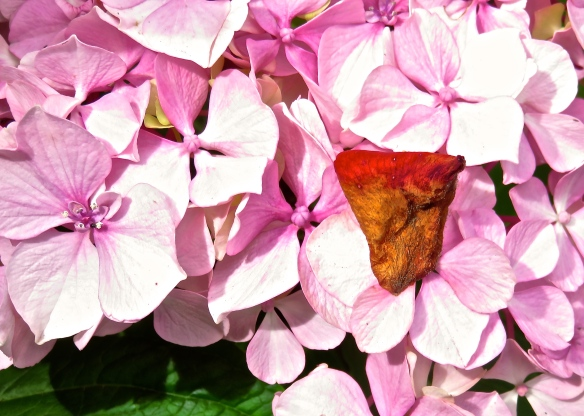Rose petal on dahlia