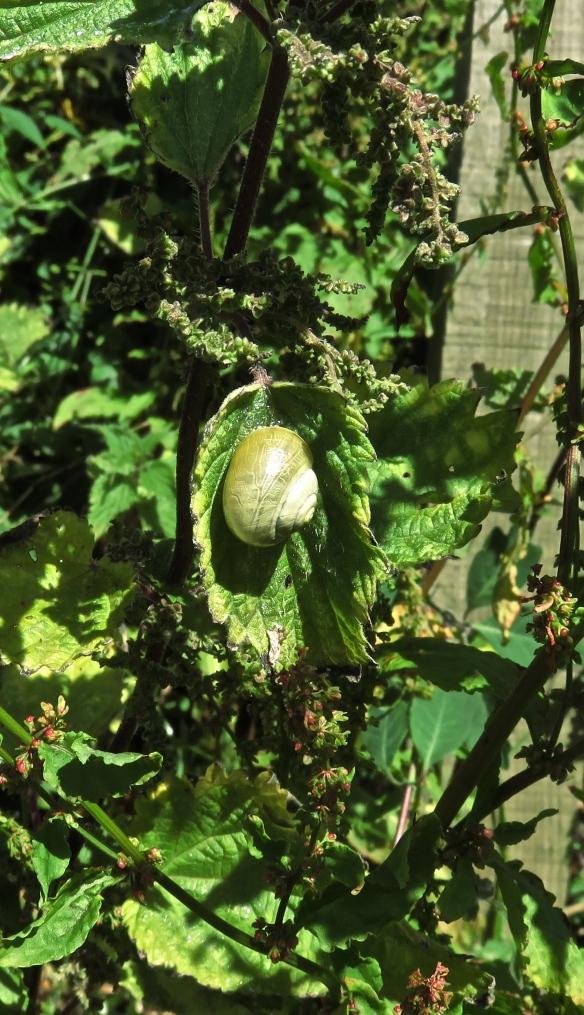 Snail on nettle