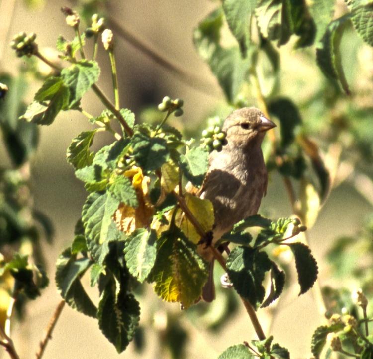 Barbados bullfinch 5.04