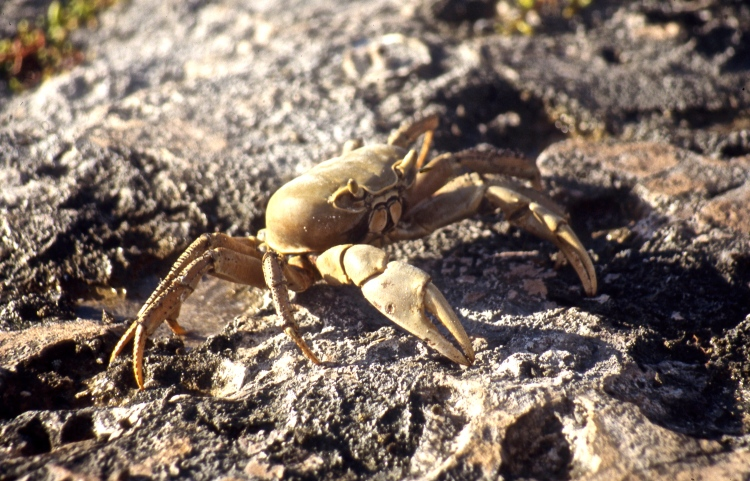 Barbados Land crab 5.04