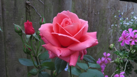 Elizabeth's rose
