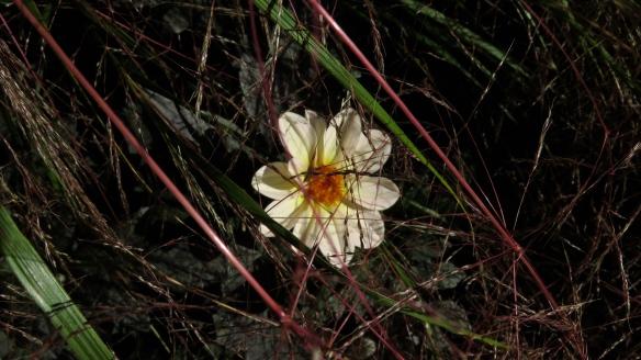 Grasses veiling dahlia
