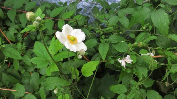 Japanese anemone and clematis Campaniflora