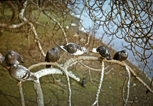 Pigeons on Branch