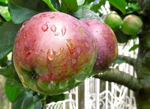 Raindrops on apples