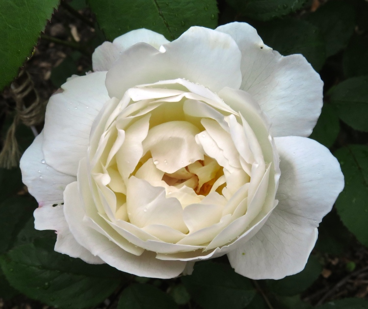 Rose Winchester Cathedral