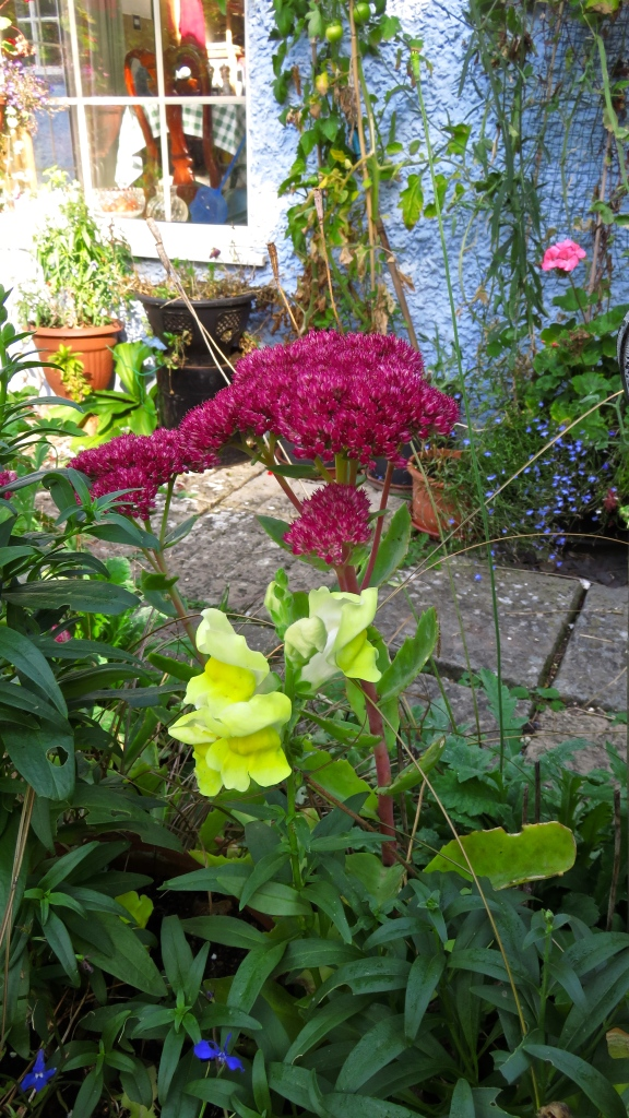 Antirrhinum and sedum