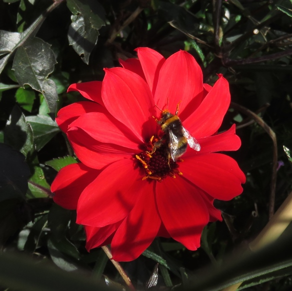 Bee on dahlia Bishop of Llandaff