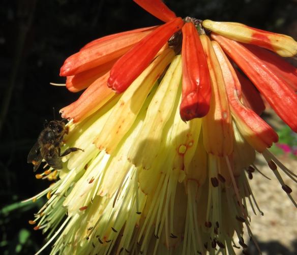 Bee on kniphofia