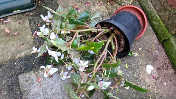 Begonia fallen