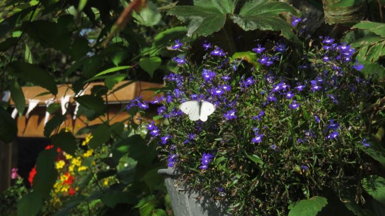 butterfly Small White on lobelia