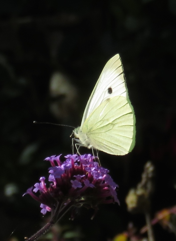 Butterfly Small White on verbena bonarensis