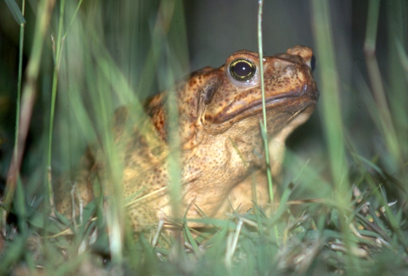 Cane toad 5.04155