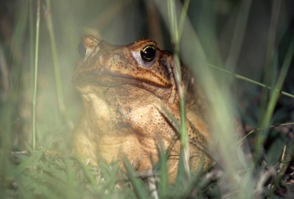 Cane toad 5.04162