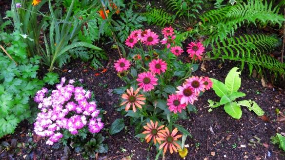 Echinaceas and chrysanthemums