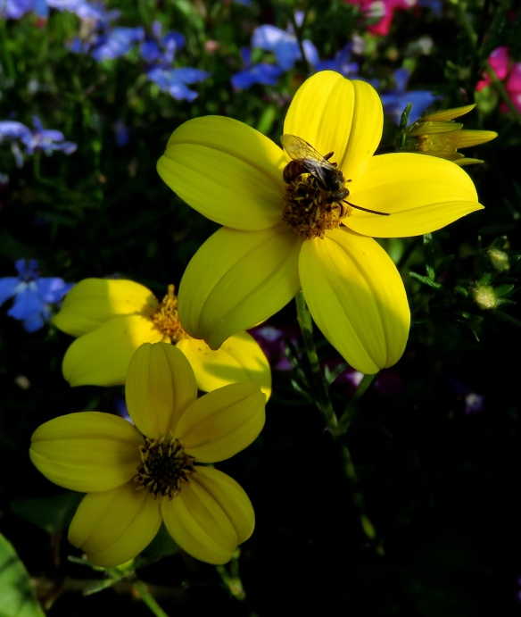 Insect on bidens