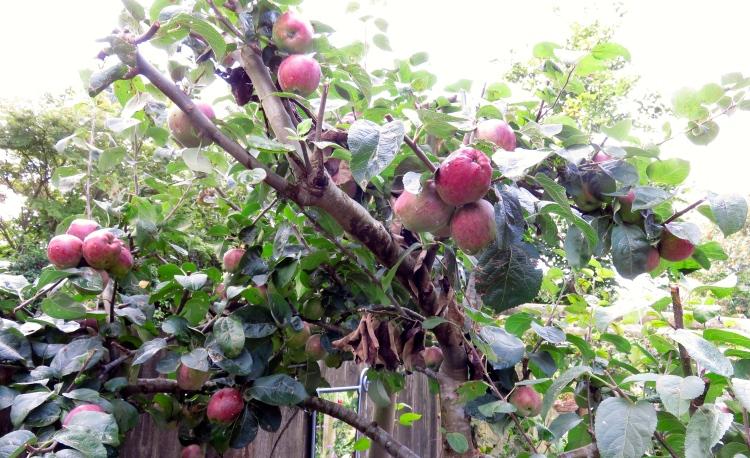 raindrops on apple tree