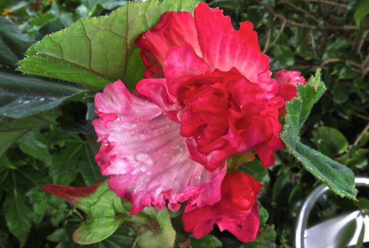raindrops on begonia