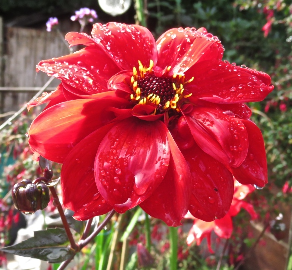 Raindrops on dahlia Bishop of Llandaff